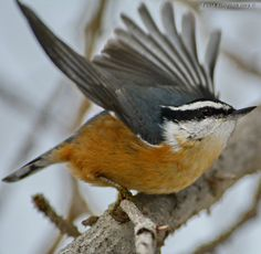 Red-Breasted Nuthatch (Sitta canadensis) by Tania Simpson