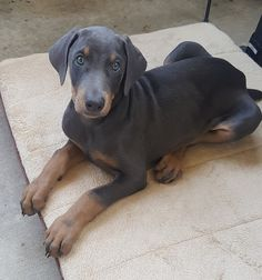 Blue Doberman puppy - 8 weeks old