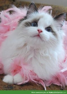 Princess ragdoll cat