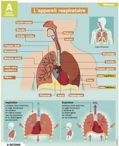 L'appareil respiratoire Teaching Aids, Help Teaching, Nursing Apps, Human Body Parts, French Resources, French Teacher, School Posters, School Motivation, Anatomy And Physiology
