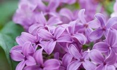 My garden ideas are all about doing pretty things with edible landscaping.  Lilacs are edible!  I've been looking up ideas for lilac wine, candied flowers, and just a simple lilac infusion.  Lilac will be in my garden, for sure!