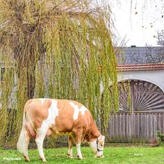 Gado Leiteiro, Friesian, Livestock, Cows, Country Of Origin, Cattle, Brown And Grey, Beautiful, Milk