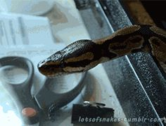 lotsofsnakes:  thankyouma-am:  Fun fact, not a yawn, popping it's jaw back together after eating  this is indeed a yawn as he did not eat prior to this gif, as i am his owner