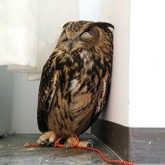 よりかかってうたた寝…( ³ω³ ) #ふくろうの里原宿店 #ふくろうの里 #ふくろう #お昼寝 #動物 #ボブ #ユーラシアワシミミズク #カフェ #原宿 #owlvillageharajuku #owlvillage #owl #owlcafe #bob #sleepy #sleep #animal #cafe #harajuku #japan #Japan