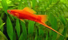 xipho-rojo-pareja-5-6cm