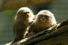 Marmosets are observed by researchers as holding conversations with each other. Image by hotblack.