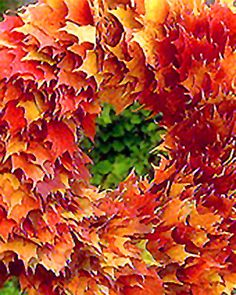 By preserving autumn leaves with glycerin, an organic emollient, you can create a wreath that will last for months without drying out. This method will also work with green spring and summer leaves. The process requires some experimentation; some leaves don't take well to the glycerin. But the ones that do will be beautiful and last long enough to make the effort worthwhile. For best results, always cut branches in the cool of the evening, and never use leaves that have been through a frost.