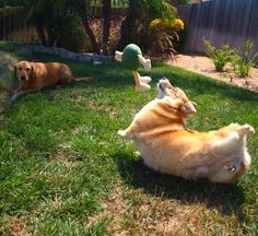 Me LOVE M & Ms! Cricket, the Pembroke Welsh Corgi, in ultra-derp. (No corgi was harmed in this fetching foto!) From Cricket Corgi.