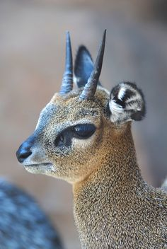 The Kirks dik dik is a small antelope found in southwestern Africa.