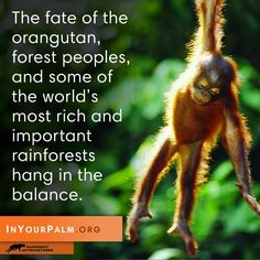 BE A VOICE FOR THE VOICELESS!  SPEAK UP FOR THE LAST REMAINING ORANGUTANS IN SUMATRA & BORNEO!  Only 60,600 orangutans remain in the wilds of Sumatra and Borneo, so we're trying to get 60,600 humans to stand up for them by calling on the Snack Food 20 to cut conflict palm oil, not rainforests. Will you be one of them?  PLZ Sign & Share!  http://www.inyourpalm.org/