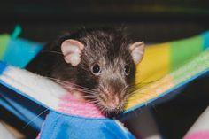 Baloo the rat