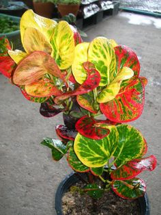 landscaping – Gardening Ideas, Tips & Techniques Red Plants, Colorful Plants, Foliage Plants, Tropical Landscaping, Tropical Garden, Tropical Plants, Shade Garden, Garden Plants, House Plants