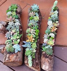 Succulent gardens in hollowed out logs available from the Succulent Guy.