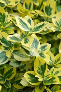 Euonymus fortunei 'Emerald'n G. Flower Beds, Garden Plants, Plant Leaves, Waterfall, Herbs, Future House, Emerald, Garage, Beautiful