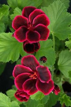 "Geranium ""Lord Bute"" https://www.houseplant411.com/houseplant/how-to-grow-geranium-plant-care"
