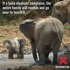 Did you know: Elephant herds care deeply for their young. Protect their future, and #TakeAStand