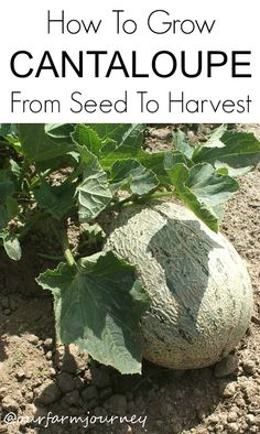 How To Grow Cantaloupe From Seeds To Harvest Cantaloupe is one of the juiciest fruits available. It's the perfect addition to breakfast or lunch, perfect for smoothies and holds dense nutritional value. But if you're like some of us, and prefer to eat your very own homegrown cantaloupes, then you might want to know how...