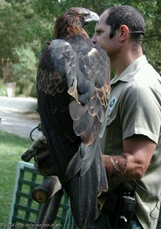 Australian Wedge Tailed Eagle (gives you some ideas of the size of this bird). Via carnivoraforum.com - Dorothy B. G. - Google+