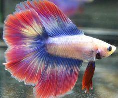 Butterfly Betta fish for Sale - BettaFishforSale.org