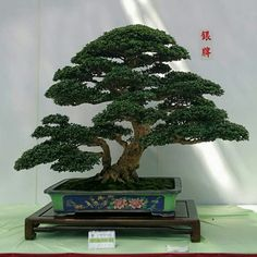 Pintung Bonsai Exhibition 2017, Taiwan. Foto de 林慶忠.
