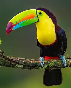 The keel-billed toucan, An incredibly brightly colored and beautiful bird that never ceases to amaze. While doing research online for these… Tropical Birds, Exotic Birds, Colorful Birds, Exotic Pets, Exotic Animals, Beautiful Birds, Animals Beautiful, Animal Photography, Nature Photography