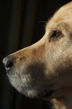 Obtain excellent tips on golden labrador. They are actually accessible for you on our web site. I Love Dogs, Cute Dogs, Dogs Golden Retriever, Golden Retrievers, Labrador Retriever, Scottish Fold, Beautiful Dogs, Mans Best Friend, Dogs And Puppies