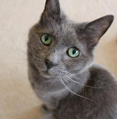 Russian Blue Cat I saw you looking at those adorable chocolate lab puppies.  Am I not enough?