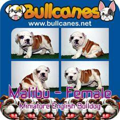 Bulldog Puppies For Sale, French Bulldog Puppies, Miniature English Bulldog, Cute Animals, Facebook, Pets, Youtube, Instagram, Pretty Animals