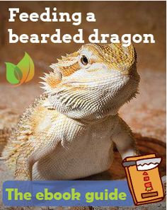 How To Feed A Bearded Dragon