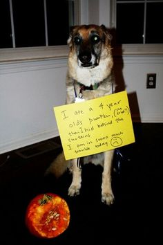 Dog Shaming I ate a 4 year olds pumpkin. Then i hid behind the curtians. i am in so much trouble today.