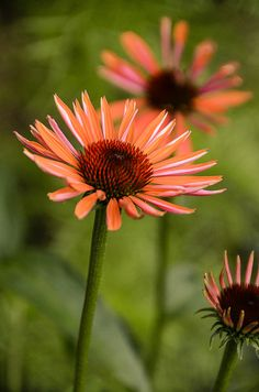Echinacea in our front yard (last summer)