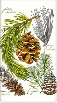 the flour sack dish towel. Designed by Mary Lake Thompson, featuring botanical pine cones and branches! China Painting, Tole Painting, Painting & Drawing, Fabric Painting, Botanical Drawings, Botanical Prints, Nature Journal, Pine Cones, Watercolor Paintings
