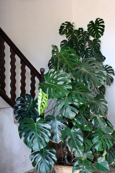 Everything You Need to Know About Monstera Plant Care Real Plants, Large Plants, Potted Plants, Indoor Plants, House Plants Decor, Plant Decor, House Plant Care, Monstera Deliciosa, Cactus Y Suculentas