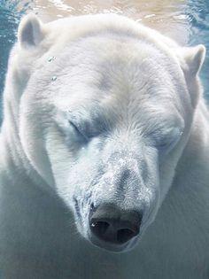 Underwater Polar Bear!