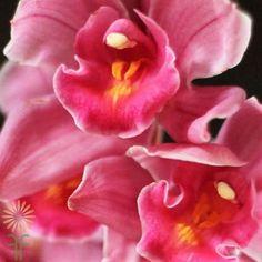 11-orchid-cymbidium-mini-hot-pink Hot Pink Flowers, Love Flowers, Colorful Flowers, Orchid Flowers, Cymbidium Orchids, Diy Wedding Flowers, Pink Color, Bloom, Floral