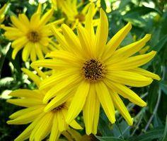 Helianthus angustifolia, Swamp Sunflower. Full sun, 6-8 feet tall.