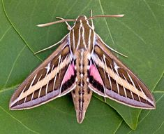 $7 - One Arizona Pink White Lined Sphinx Moth Hyles Lineata Unmounted Wings Closed #ebay #Collectibles