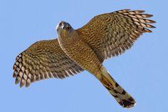 Hawk Identification, Cooper's Hawk, Crazy Bird, Kinds Of Birds, Owl Bird, Backyard Birds, Creature Feature, Birds Of Prey, Beautiful Birds