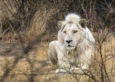 Embrenhado no mato, o leão de pelo branco é considerado animal sagrado pelos nativos sul-africanos (Foto: © Haroldo Castro/ÉPOCA)