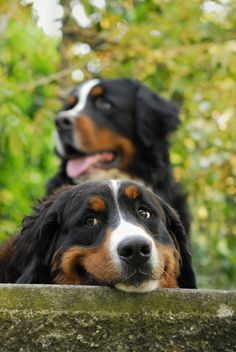 I love the expression on this Bernese Mountain Dogs face.  #puppied (by aldo.1958)