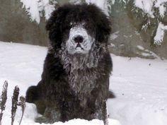 snow! Looks like Ursa :) (my brothers dog)