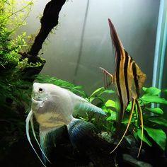 【marugon7】さんのInstagramをピンしています。 《アルタムが大きくなってきた。アルタムもっと欲しいけど高すぎ。高杉さん #アクアリウム #120cm水槽 #120cm #状態確認 #水草水槽 #shrimp #aquarium #aquatank #ミクロソリウム #ボルビティス #本ナロー #トライデント #パールグラス #ブリクサショートリーフ #流木 #カージナルテトラ #アルタムエンゼル #プラチナエンゼル #ゴールデンアカヒレ #グリーンテトラ #ヤマトヌマエビ #入院がんばれ #altum #angelfish #platinumangel #altumangelfish》