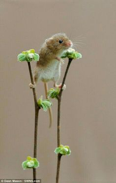 Experts say the decline in Britain's hazel dormouse population has been far more rapid than previously believed rodents Harvest mice are seen playing among the plants in Dorset Cute Creatures, Beautiful Creatures, Animals Beautiful, Cute Little Animals, Cute Funny Animals, Nature Animals, Animals And Pets, Felt Animals, Green Animals