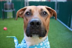 5/2/17 THIS WONDERFUL TREASURE ISAIAH WAS MURDERED WITHOUT GIVEN ANY SECOND CHANCE! I´M TOTALLY DEVASTATED AND WILL BE FOR A LONG TIME! HOW COULD NYCACC BE SO DEVILISH? LOOK AT HIM! READ HIS STORY AND WATCH HIS VIDEO! THIS IS TOTAL MADNESS! /IJ Manhattan Center My name is ISAIAH. My Animal ID # is A1109130. I am a neutered male brown pit bull. The shelter thinks I am about 2 YEARS old. I came in the shelter as a STRAY on 04/17/2017 from NY 10467, owner surrender reason stated was STRAY.