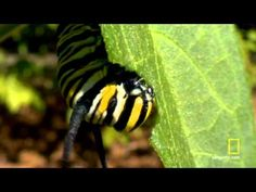 Life Cycle Butterfly video on You Tube; excellent photography
