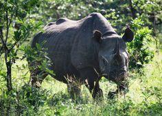 A Rhino in Malawi's Liwonde National Park!
