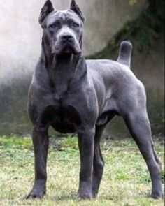 Cane Corso dogs Source by Cane Corso Puppies, Cane Corso Dog, Mastiff Puppies, Dogs And Puppies, Really Big Dogs, Huge Dogs, Beautiful Dogs, Animals Beautiful, Chien Cane Corso