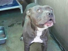 ((RIP SWEET BABY SUPER URGENT)) Angels for Animals Network URGENT EUTH LISTED- HIGH KILL SHELTER.. This beautiful dog is going straight from Lost & Found to the Euth List. Share for rescue, pledges, foster! At Orange County Shelter, CA A1293849 M 3 Years BLUE WHITE PIT BULL MIX 12/26/2013  OC ANIMAL CARE, 561 The City Drive South, Orange, CA 92868, 714-935-6848  https://www.facebook.com/photo.php?fbid=10153654070855223&set=a.317943020222.328357.315830505222&type=1