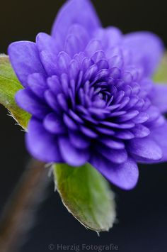 Hepatica nobilis var japonica 'Unabara'