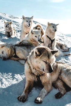 Pack of huskys